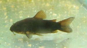Black Corydoras Cory Catfish Live Freshwater Aquarium Fish
