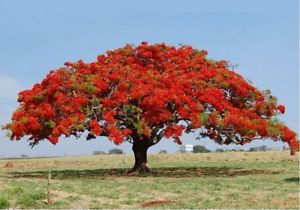 Delonix Regia Tree Red Royal Poinciana Plants Flame Tree