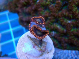 Bloody Mary Palys U Get 1 2 Polyps SPS LPS Live Coral Zoas