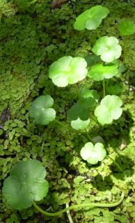 Water Pennywort Plants Koi Pond All Natural People Fish and Turtle Food